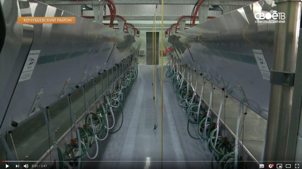 Кочубеевских коров доят по уникальным технологиям